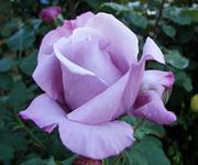 Оптовая и розничная продажа саженцев роз