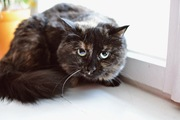 Красивая трехцветная кошка в дар в добрые руки!