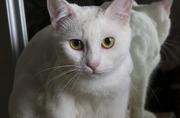 Белая красавица Кефирка ищет дом и заботливых хозяев!!!