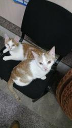 Два бело-рыжих котобратика ищут дом.