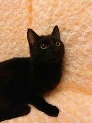 Красавица черного окраса ищет любящую семью!!!