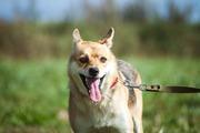 Рыженькая лисичка-умница Куба ищет заботливую семью!!!