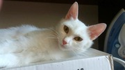 Кошечка Белочка ищет любящую семью!!!