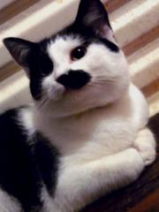Красавица-кошка  Блэкберри в добрые ручки!!!!